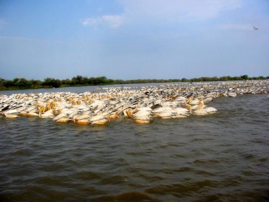 colonie-pelican-senegal