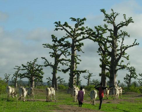 forêt-de-baobabs