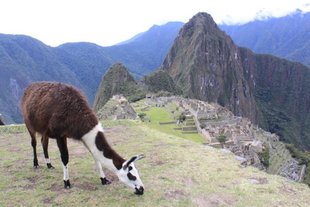 Lama-Machu-Picchu